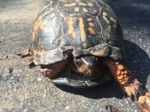 cautious turtle