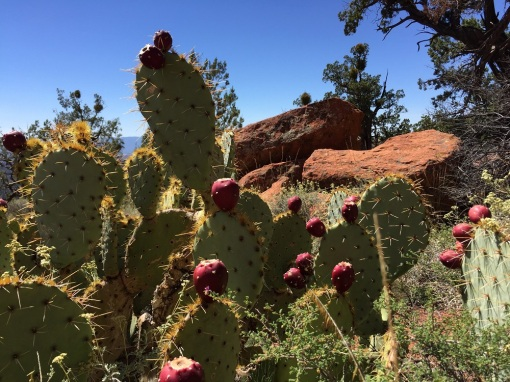 prickly pear cactus on Bear Mountain Trail, Sedona AZ