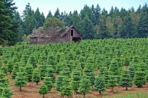 Christmas tree farm in North Carolina