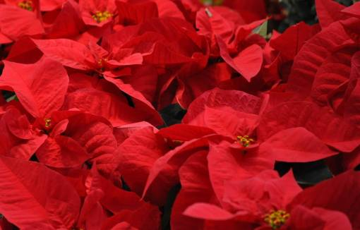 holiday inspiration - poinsettias by Peter Miller