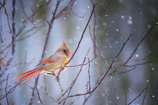 miss-cardinal-by-jim-leistman