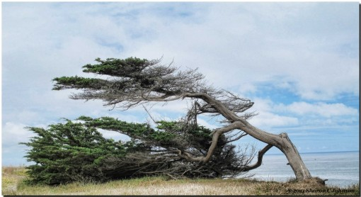 wind-worn-cypress-sharon-c-johnson