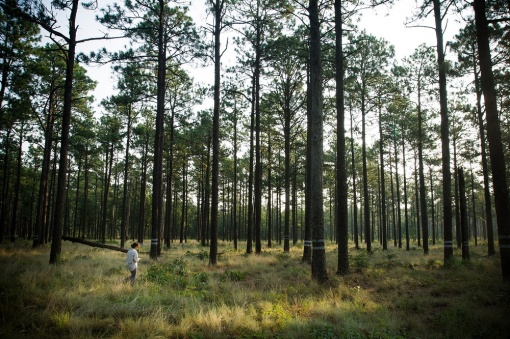 north-carolina-longleaf-pines