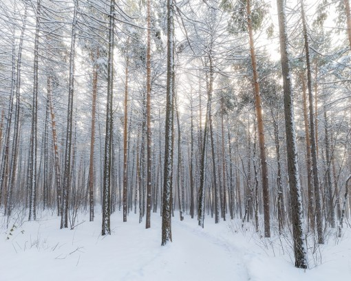 snowy-forest-by-michail-prohorov