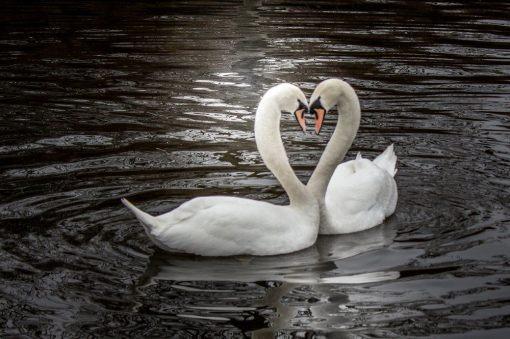 valentine-swans