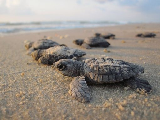 Sea turtle hatchlings heading to the Atlantic: Free professional development resources and events for CAEs, association staff and others in the association community