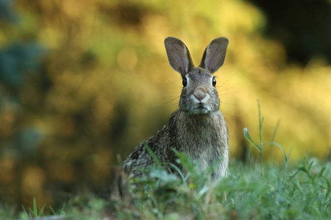 brown rabbit in the grass, staring at the camera - – inspiration for a weekly list of free educational events and resources for the association community