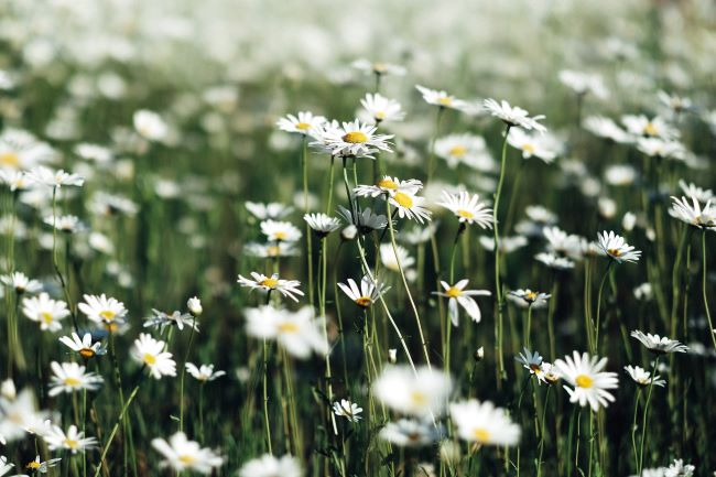 spring daisies in a field - – inspiration for a weekly list of free educational events and resources for the association community