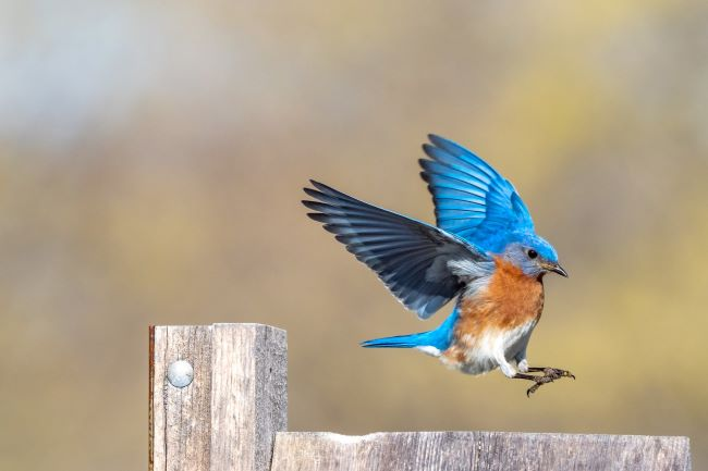 Eastern Bluebird landing on a fence rail – inspiration for a weekly list of free educational events and resources for the association community