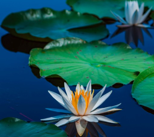 lotus blossom and lily pads on still blue water – inspiration for a weekly list of free educational events and resources for the association community