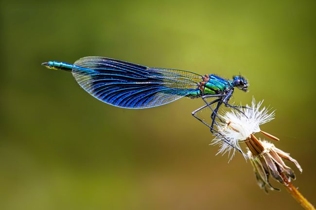 blue dragonfly on a puffy dandelion stem - – inspiration for a weekly list of free educational events and resources for the association community